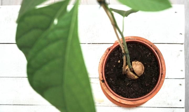 Een avocadoplant kweken: op deze manier lukt hetwél!
