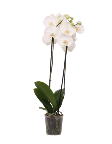 green-bubble-witte-orchidee-leeds