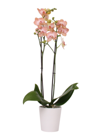 green-bubble-zalmroze-orchidee-peach